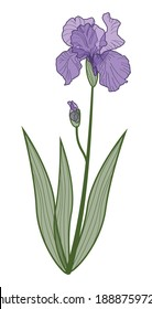 lilac iris flower on white background, hand drawing