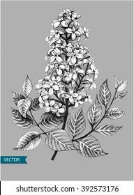 Lilac or syringa vulgaris spring flowers. Vector illustration. EPS10.