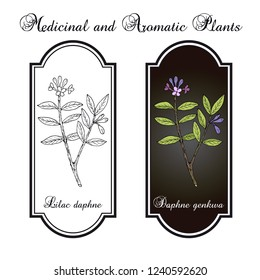 Lilac-daphne (daphne genkwa), medicinal plant. Hand drawn botanical vector illustration