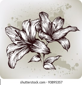 Lilies bloom, hand drawing. Vector illustration.