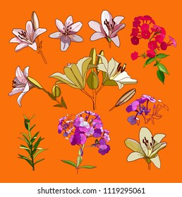 Lilies and phloxes. A set of drawings of inflorescences and buds of garden flowers.