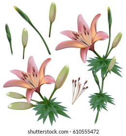 Lilly Flowers Isolated on White Background. Vector clip-art