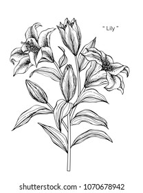 Lily flower drawing illustration. Black and white with line art on white backgrounds.