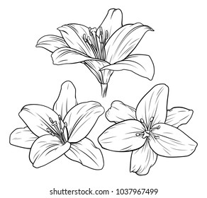 Lily flower illustration in vintage woodcut etching style
