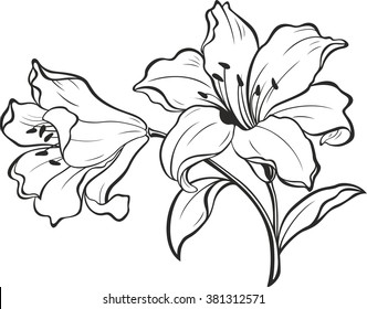 Lily flowers. Blooming lily. Card or floral background with blooming lilies flowers.  Silhouette of lily flowers  isolated on white background. Vector illustration.