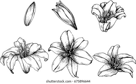 lily flowers drawing illustration vector and clip-art.