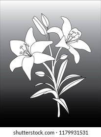 Lily (Lilium) Flower Vector Design
