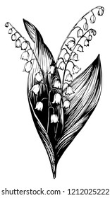 Lily of the valley. Hand drawn . Botanical illustration. May-lily flowers on white background. Convallaria.
