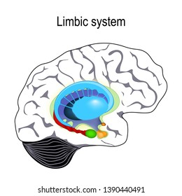 limbic system. Cross section of the human brain. Anatomical components of limbic system: Mammillary body, basal ganglia, pituitary gland, amygdala, hippocampus, thalamus, and cingulate gyrus