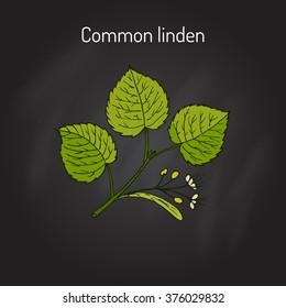 Linden branch with leaves and flowers. Hand drawn botanical vector illustration