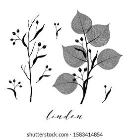 Linden branch and seed. Floral botanical illustration isolated on background. Skeleton vein leaves and elegant vintage graphic design in black and white color
