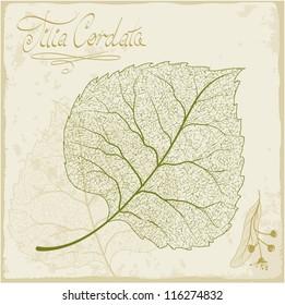 Linden leaf skeleton. Vector.