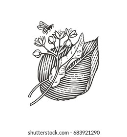 Linden tree branch with flowers and flying bee. Hand drawn engraving style illustrations.