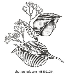 Linden tree branch with flowers. Hand drawn engraving style illustrations.