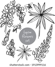 line art set of hand draw sketch wildflowers lupinus leaves, flowers, parts of the plant. Ideal for cosmetic products, wedding design