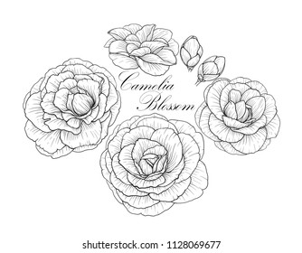 Line black and white illustration of a beautiful camelia flowers