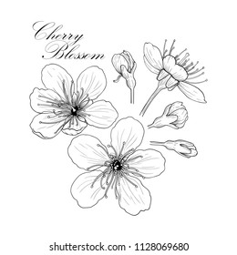 Line black and white illustration of a beautiful cherry flowers
