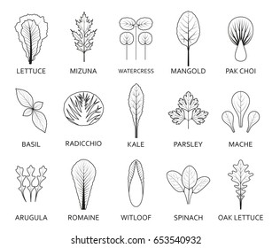 Line salad leaves isolated on the white background. Vector illustration.