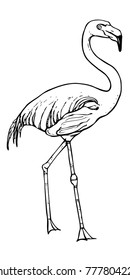 Line vector drawing of flamingo. Big beatiful wading bird standing. Black and white illustration