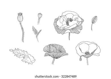 Linear illustration. Engraving hand drawn poppy flowers