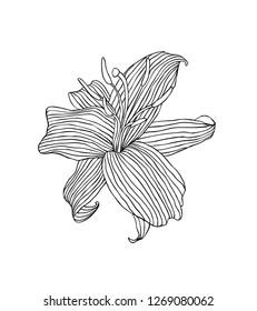 Linear lily flower. Vector illustration black on white