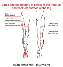 Lines and topography of points of the front and back surface of the leg