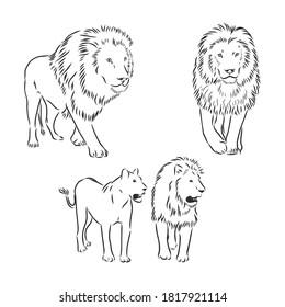 Lion sketch drawing on white background. lion vector sketch illustration