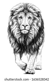Lion. Sketchy, graphical, black and white  portrait of a lion walking forward on a white background.