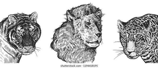 Lion, Tiger and Jaguar set. Realistic portraits of African animals. Vintage engraving. Vector illustration art. Black and white hand drawing. Facial expressions of Wildlife predator. Sketch close-up.