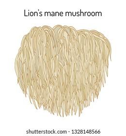 Lion's mane mushroom (Hericium erinaceus), edible and medicinal plant. Hand drawn botanical vector illustration
