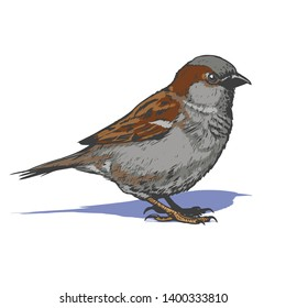 little realistic sparrow bird hand drawn illustration