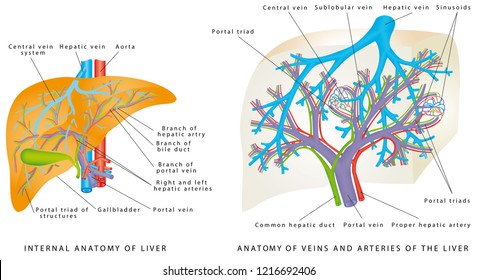 Liver Circulatory System. Anatomy Of Veins And Arteries Of The Liver. Gallbladder, aorta and portal vein, hepatic duct. Anatomy of the liver, showing the major blood vessels and the gallbladder