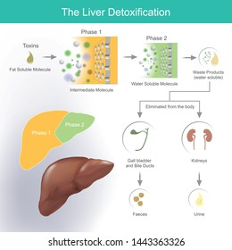 The liver detoxification. The liver produces bile to help break down and absorb fats. Waste products and toxins are removed through bile.