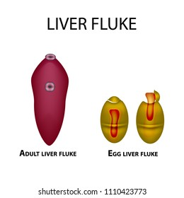 Liver fluke. Hepatic fluke. The egg trematode. Set. Infographics. Vector illustration on isolated background.