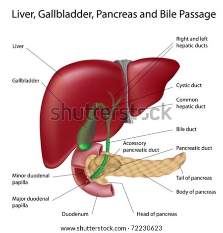 Liver Gallbladder Duodenum Pancreas Labeled Scientifically Stock ...