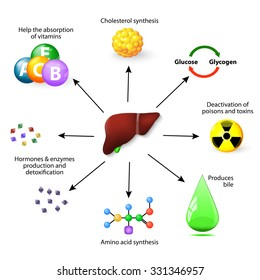 Liver and metabolism with numerous functions in the human body, including synthesis protein, Amino acid, cholesterol, deactivation of poisons and toxins, produces bile