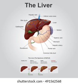 The liver is the only human internal organ capable of natural regeneration of lost tissue.This is however, not true regeneration but rather compensatory growth in mammals. Illustration anatomy body.