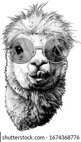 llama or Alpaca head funny with protruding teeth fashionable in round glasses, sketch vector graphics monochrome illustration on a white background