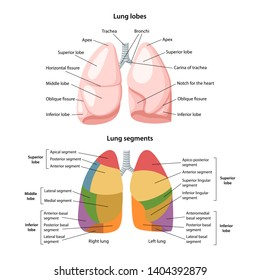 Lobes and segments of the lungs. Anterior view of the lungs with description of the corresponding lobes and segments. Anatomical vector illustration in flat style isolated over white background.
