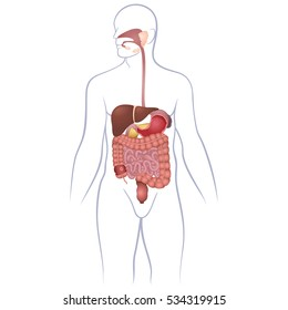 Human Digestive System Images Stock Photos Vectors Shutterstock