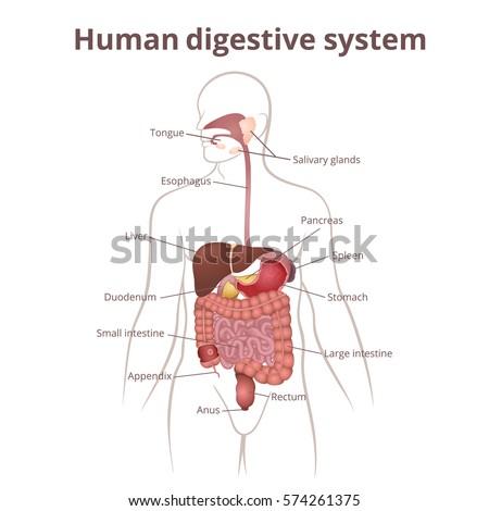 Location Gastrointestinal Tract Body Human Digestive Stock ...