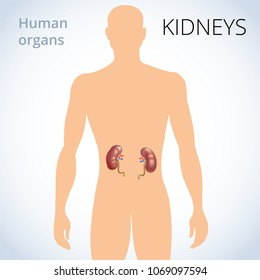 the location of the kidneys in the body, the human excretory system