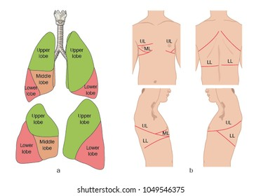 Location of the lobes of the lung in relation to the trachea and the surface anatomy of the thorax