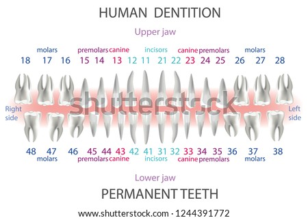 Location Order Human Teeth Types Dentist Stock Vector Royalty Free
