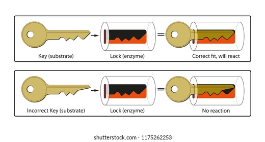 Lock and Key Mechanism of Enzymes