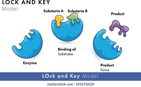 Lock and key model of enzyme kinetics for biochemistry and molecular biology
