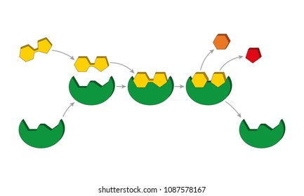 Lock and key model. Enzyme-substrate complex