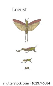 Locusts - fairly large insect that can damage crops in the fields. Vector illustration The life cycle of Locusts.