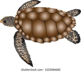 Loggerhead Sea Turtle, Saltwater amphibian - Vector