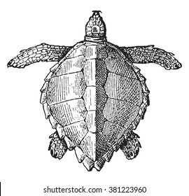 Loggerhead sea turtle, vintage engraved illustration. Dictionary of words and things - Larive and Fleury - 1895.